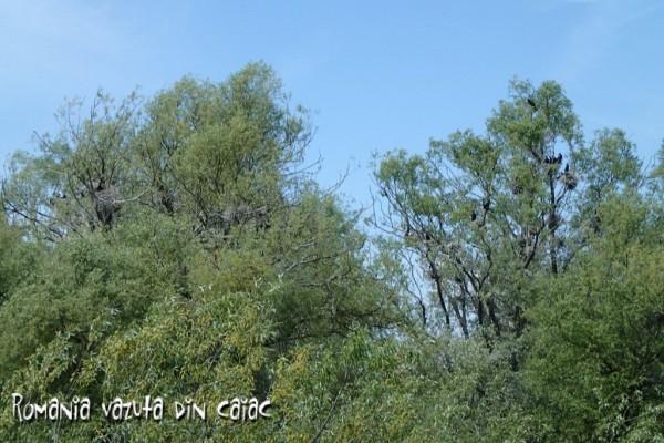 Colonia de cormorani din Balta Mica a Brailei